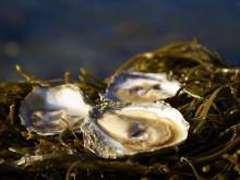 Ostron och musslor från Bohuslän - tävlingsråvara i Bocuse d'or Europe