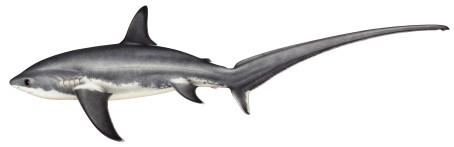 Ny guide för hajar och rockor i Västerhavet