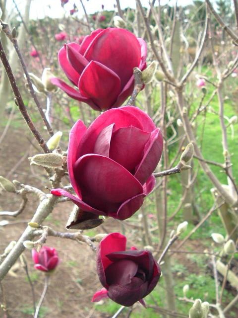 Nyhet! Magnolia 'Genie'