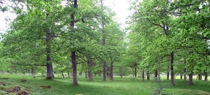 Framtidens gamla naturvårdsträd måste planteras nu