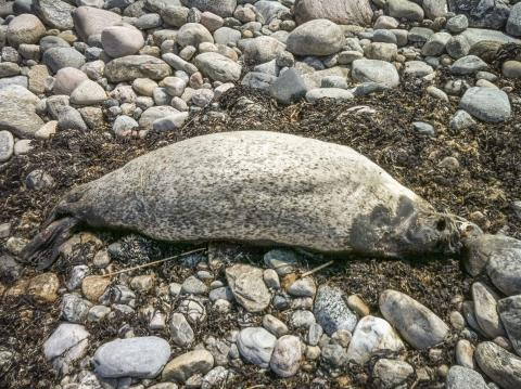 More dead seals on the west coast than previously thought - Sea provides grants to increased sampling