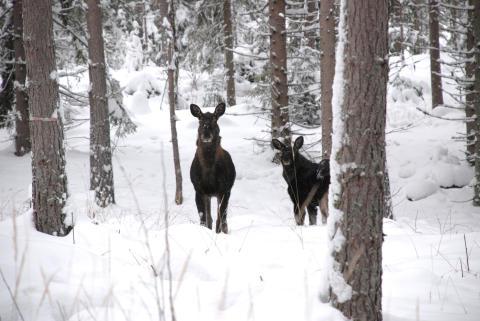 Redskap för ny älgförvaltning i Fakta Skog från SLU