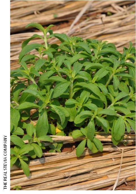 Stevia Plant 2