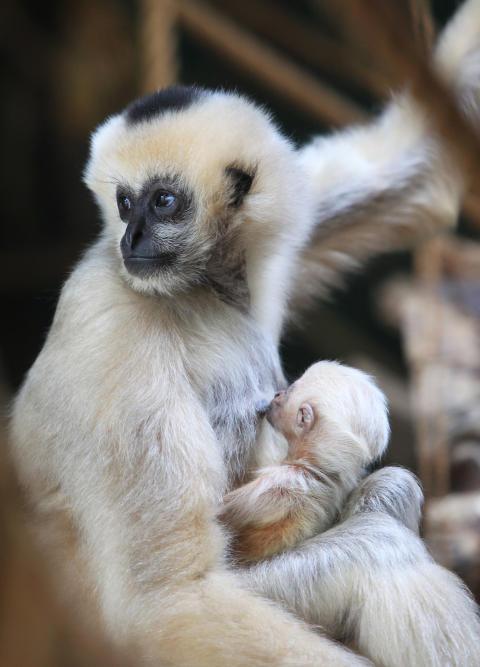 Sveriges första vitkindade gibbonunge