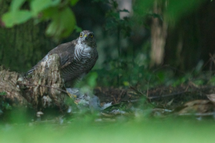 Sparrowhawk in my garden