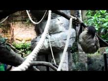 Sengångare klättrar i Universeums regnskog