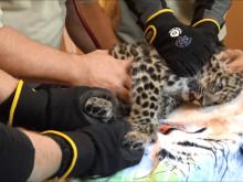 Amurleoparden Olga tittar fram för första gången