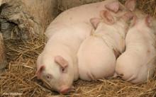 Svenska butiker bör sluta sälja kött från plågade danska grisar