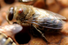 Varroabekämpning i bikupan ökar virusinfektion tillfälligt