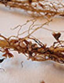 Baljväxter minskar jordbrukets utsläpp av växthusgaser