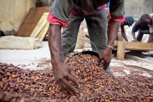 Nestlén Cocoa Plan -ohjelma: Tavoitteena poistaa lapsityövoima kaakaoviljelmiltä