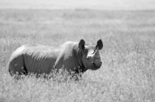 Noshörningar ska räddas av teknik från Linköping