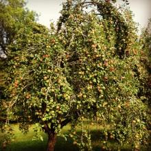 Villa Aske bjuder exklusivt på Signhildsbergs Gårds egenproducerade äppelmust till frukost.