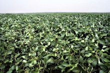 Martin & Serveras sojacertifikatköp stöder farm i Brasilien