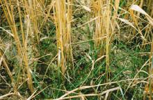 Vintergrön åkermark bra för klimatet