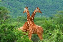 Safari, rundreise og luksustog i Afrika. Elvecruise med Geir Salvesen og Geir Toverud