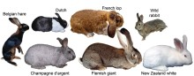 New research reveals how wild rabbits were genetically transformed into tame rabbits
