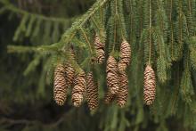 Barrskogar binder klor lättare än lövskogar