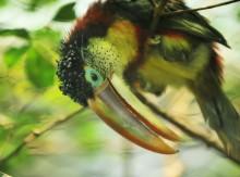 Pressvisning: Utrotningshotade tukaner flyttar in på Universeum