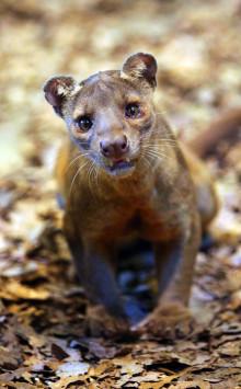 Den unika och tuffa fossan nytt djur i Parken Zoo