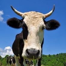 Nytt EU-projekt för en giftfri mjölkproduktion