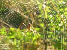 Vägen till konstgjord spindeltråd allt kortare