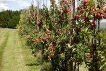 SLU söker samverkan för att förstärka äppelförädling