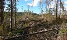 Gynnsamt för granbarkborrar i norr – ökad skaderisk framöver