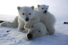 Isen forsvinner i Arktis, og isbjørnen står i fare – nå kan du hjelpe på en enkel måte