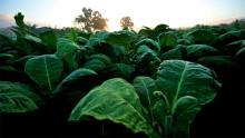 USAs nest største tobakksselskap ber ansatte snuse