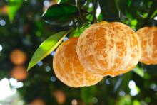 Världspremiär: skalfria apelsiner