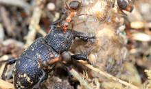 Myror kan försvara barrträdsplantor mot snytbaggar