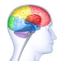 Hjärnan kan liknas vid en tonåring