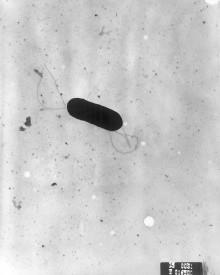 Risk för bakteriesmitta kan öka när mat utsätts för ljus