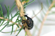 Kunskap om snytbaggens ätvanor kan minska skador på skogsplantor