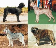 Hundraser från världens alla hörn på World Dog Show 2008