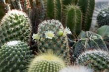 Kaktusens välförtjänta comeback