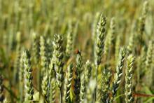 Kan flerårig spannmål ge tillräckligt höga skördar?