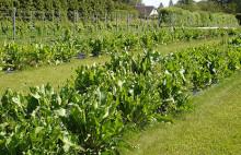 Pepparrot - varierad växt med många användningar