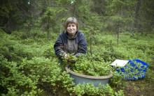 Rikligt med blåbär i Norrland