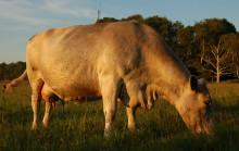 Glädjande besked från Max hamburgare om halalkött