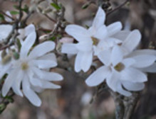 Magnoliorna blommar i Örebro