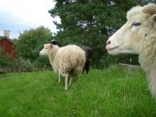Från lamm till tröja – nu ska den uppländska ullen tas tillvara