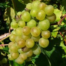 Adding mobile magic to Adgestone, an Isle of Wight vineyard since Roman times