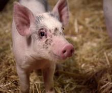 I Sverige har grisen knorren kvar till skillnad från övriga EU