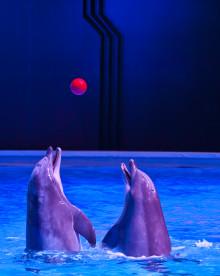 Delfinshowen Life i Kolmården kan vinna Svenska Ljuspriset