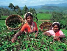 Nyhet! Oppdagelsestur til Sri Lanka; Sensommerspesial Mauritius; Elvecruise på Mekong; Golf i USA; Langtidsferier