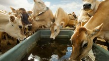 Nestléltä sitoumus tuotantoeläinten hyvinvoinnista