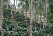 Kaffeskörd i bergssluttning