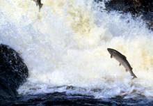 Sportfiskarna kräver att Sven-Erik Bucht stoppar höjd laxkvot